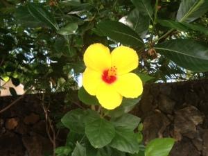 HawaiiHibiscusYellow